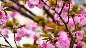 Nature video close up Japan cherry blossom on the cherry tree are wind full bloom in spring season,4K or UHD Resolution.  stock video footage