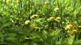 Nature. View of dandelions and nettles on meadow stock video footage