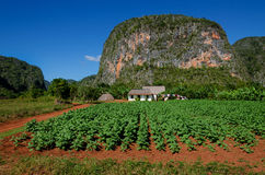 Nature view of tobacco plantations and mogotes - Cuba, Vinales. Viñales is a small town and municipality in the north-central Pinar del Río Province of Cuba Royalty Free Stock Photo