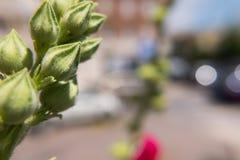 Hibiscus flower flourishing. Shallow depth of field. Royalty Free Stock Photos