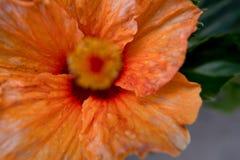 Orange Hibiscus flower selective focus. Stock Photos