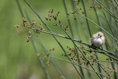Nature watch - Bearded Reedling. Beautiful image of a nature trail find. A fledgling male Bearded Reedling, also known as a Bearded Tit, rests on reed foliage Stock Image