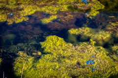 Nature and water pollution. Algae and seaweed in the water Royalty Free Stock Images