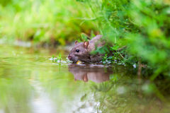 Nature whit rat Royalty Free Stock Images