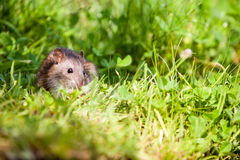 Nature whit rat Stock Image