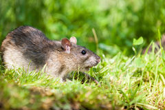 Nature whit rat Stock Photography