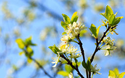 Nature. White blossoms on the branch of apple tree Stock Photos