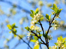 Nature. White blossoms on the branch of apple tree Stock Images