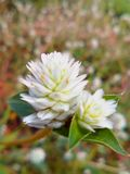 Nature. White grass flowers Stock Images