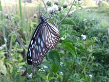 The Nature  Wild Butterfly. This is image Nature  Wild Butterfly Royalty Free Stock Image