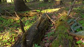 Nature of the wild forest, fallen trees grow with moss stock video