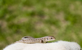 Nature wild lizard. Selective focus Royalty Free Stock Photo