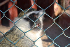 Nature wildlife animal liberty locked sad monkey cage. Poor monkey locked in a cage and wants to get out into the wild stock photos