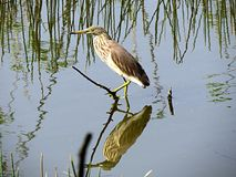 Nature,wildlife,birding,heron,reflection,pond. Heron resting on a branch in a pond royalty free stock images