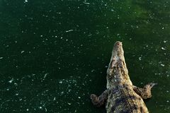 Wildlife crocodile in the water with copy space Stock Photos