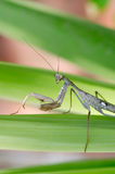 Nature and Wildlife Photos - Praying Mantis Stock Photos