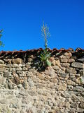 Nature will prevail. New life growing on an old stone wall from a ruin Stock Photos