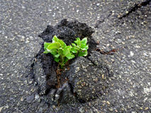 Nature Wins. Tree vs asphalt Royalty Free Stock Images