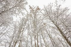Winter Forest, Grove, Trees in the snow, Maple Seeds in the snow. Nature, Winter Forest, Grove, Trees in the snow, Cold, Maple, Branch, Maple Seeds stock image