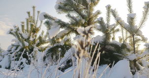 Nature in winter, small pine tree covered with snow stock footage