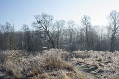 Nature during winter. Straws of wild grass and bare broadleaved trees with mistletoe on the branches. Countryside scenery during winter, hoarfrost on the plants Stock Image