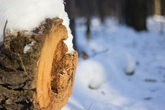 Nature winter texture. Snow in wood royalty free stock photo