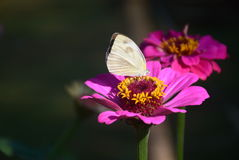 Nature at work. The mutual relationship of a butterfly and a flower Stock Photo
