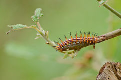 Nature of the worm. Is eatting leave Royalty Free Stock Photo