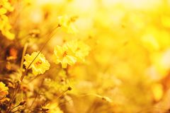 Nature yellow flower field blur background Yellow plant calendula autumn colors beautiful in the garden. Nature yellow flower field blur background / Yellow royalty free stock photo