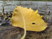 Nature  yellow leaf surrounded by pure water 💧 stock image