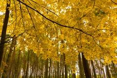 Nature, Yellow, Maidenhair Tree, Tree royalty free stock image