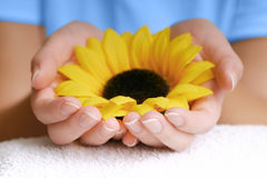 Nature In Your Hands. A sunflower laying in hands. Shallow deph of field. Focus is only on fingertips Stock Image
