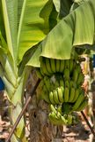 Natured banana Royalty Free Stock Image
