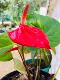Naturel anthuriumblomma i Sri Lanka royaltyfria bilder