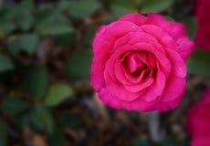 Naturel développez-vous rose s'est levé dans l'arrière cour photographie stock