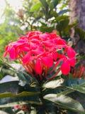 Naturel läste blomman i Sri Lanka arkivbild