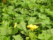 Naturellement le champ de la courgette se développe, les fleurs jaunes image stock