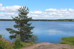 Naturen av den Leningrad regionen Sörja-trädet Arkivfoto