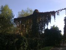 Naturen skapar mirakel Riktig tillväxt på staketet och ställningen, i form av en gigantisk man Arkivbild