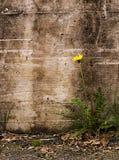 Naturen triumferar över motgång - maskros vid den gamla väggen, Taraxac arkivbild