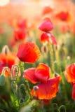 Naturen våren som blommar blommar begreppet - närbild på fält för blomningvallmo på våren, på den soliga dagen med gräsplan Royaltyfri Foto