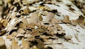 Natures abstract birch tree in spring Royalty Free Stock Photos