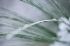 Nature's Abstract: Blurred Pine Needles of Winter Royalty Free Stock Photos