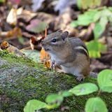 Natures Adorable Chipmunk royalty free stock photography
