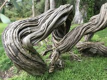 Natures Artwork - gnarled tree trunks -. Natures artwork- Gnarled Tree Trunks - San Francisco, CA royalty free stock images