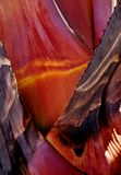 Natures beautiful colors... Close up of dying Agave after flowering Royalty Free Stock Photo