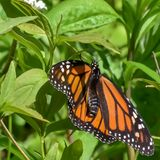 Natures Beautiful Monarch. Closeup of a Monarch Butterfly showing off its gorgeous wings as it sits on a plant in bayside Wisconsin royalty free stock photography