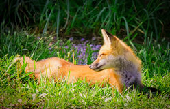 Natures beauty fox in woods. Taking a well deserved rest while enjoying the warmth of the sun, this fox sets the scene for beauty and tranquility Stock Image
