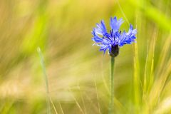 Natures blue flower on a sunny field Royalty Free Stock Images