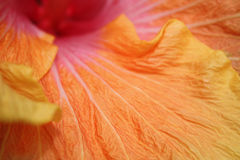 Natures Colors. A background with a macro view of a petal with beautiful colors Royalty Free Stock Photography
